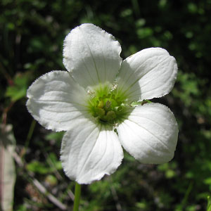 Parnassia nubicola