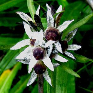 Primula macrophylla (Variety- Moorcroftiana)