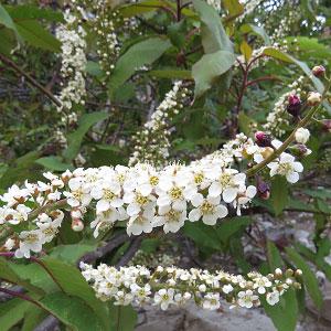 Prunus cornuta